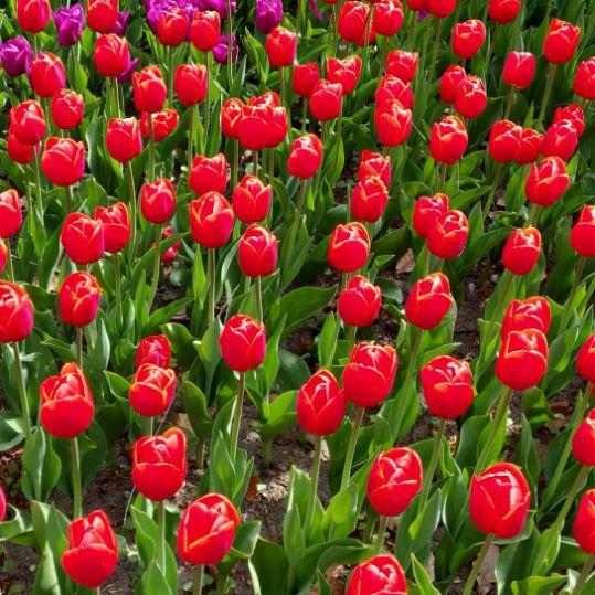 Røde tulipaner